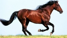 brown_horse_running